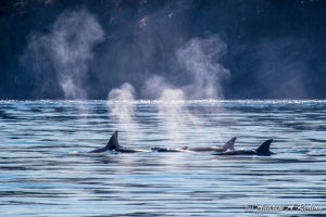 Pod of Orca Whales off shores of North San Juan Islands, WA